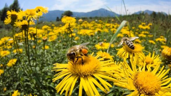 bee-and-daisy