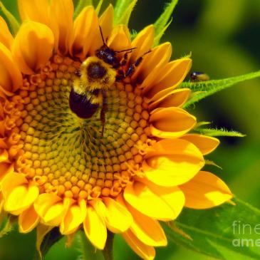 Bumblebee pollinates sunflower